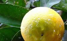 Limone di Sorrento