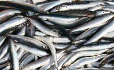Sagra del Pesce Azzurro - Sorrento
